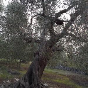 Ulivo- cultivar coratina