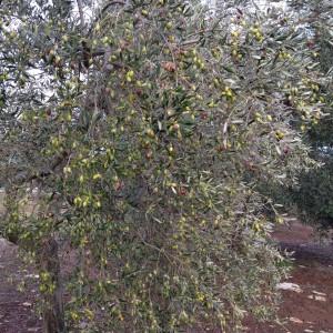 """Olive """"coratine"""""""